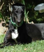 Why a Greyhound? A veterinarian's view…