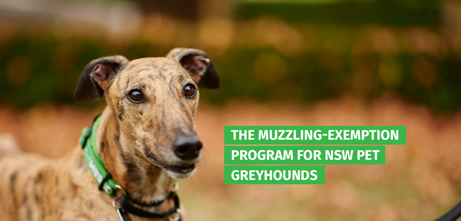 The muzzling-exemption program for NSW pet greyhounds